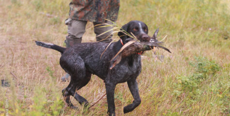 НКП «Дойч дратхаар» провел серию онлайн семинаров по подготовке собак к испытаниям на охотничье мастерство