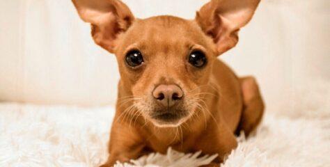 Генетика домашних животных. Насколько собака рыжая? Вопрос не прост!