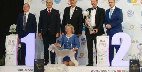 Лучшей собакой выставки WDS 2021 стал бедлингтон из России